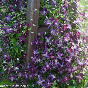'Sweet Summer Love' Clematis | photo provided by Proven Winners®