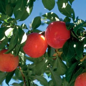 Prunus salicina 'Brookred'