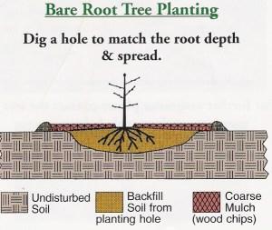 Bareroot tree planting