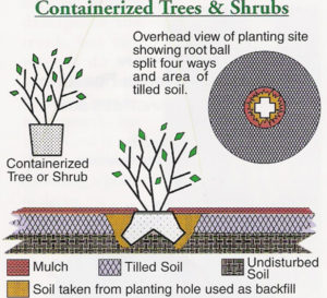 Containerized tree and shrub planting