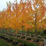 Sienna Glen Maple | Photo courtesy of Brentano's Tree Farm