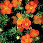 'Sunset' Potentilla | Photo courtesy of Bron & Sons Nursery