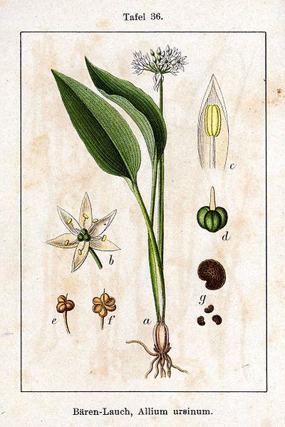 400px-Allium_ursinum_Sturm36