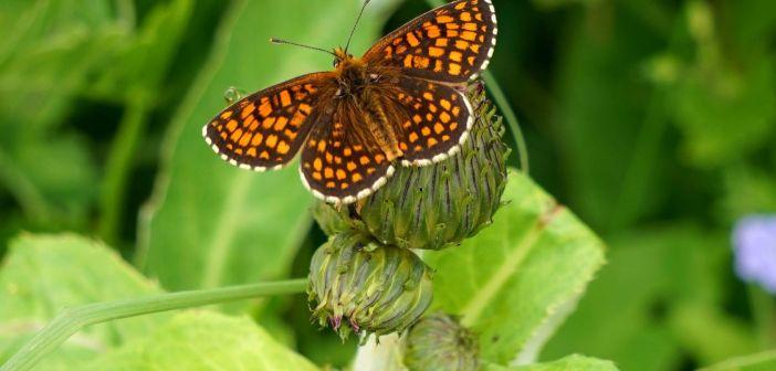 Przeplatka atalia – piękny i popularny motyl dzienny