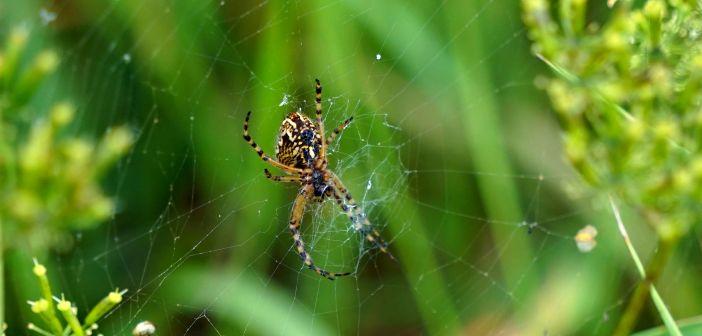 Kołosz wielobarwny – pająk z liściem dębu na plecach!