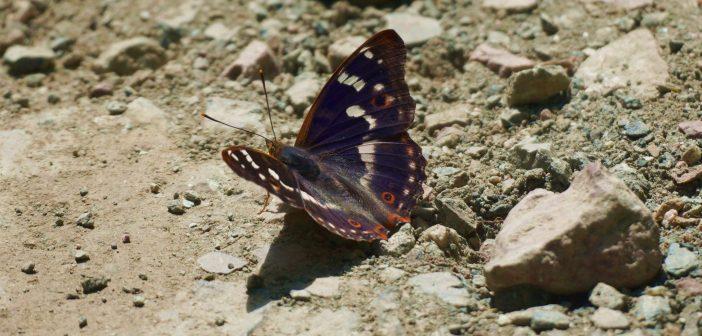 Mieniak strużnik! Połyskliwy motyl o egzotycznym wyglądzie [ATLAS MOTYLI]
