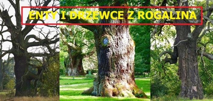 Enty i Drzewce z Rogalina! Jedno z największych nagromadzeń starych dębów w Europie! Wyglądają fantastycznie …