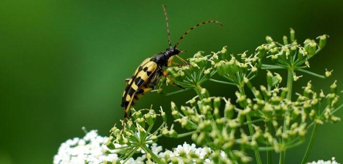 Strangalia plamista! Piękny chrząszcz z rodziny kózkowatych
