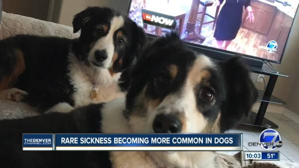 Dog disease that can spread to humans on the rise in west