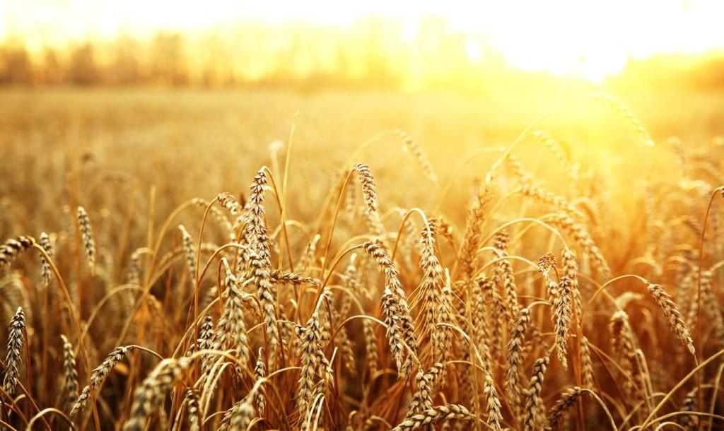 На Харківщині горіла пшениця