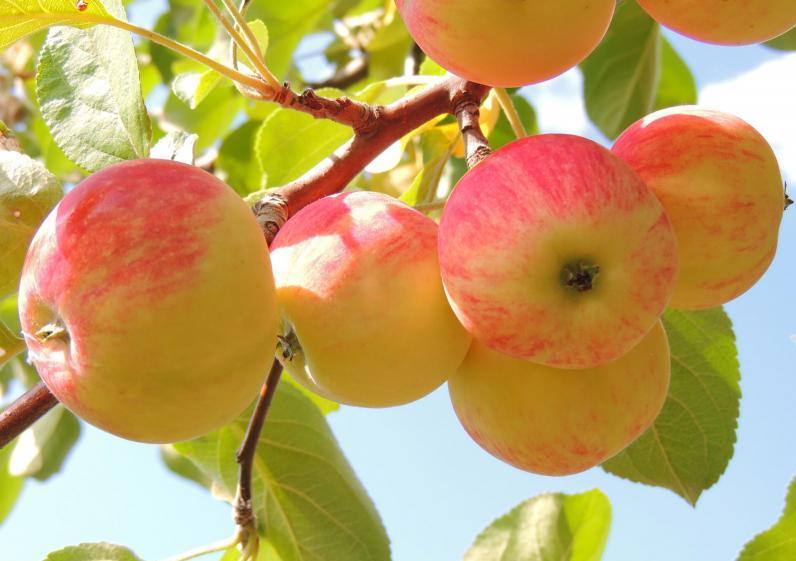 В регіонах очікується надзвичайно високий урожай яблук