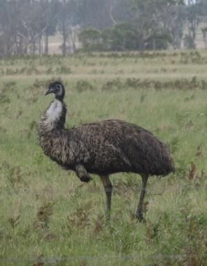 Massive Emu