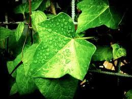 葉についた水滴