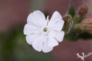 Sigma SD1 White flower