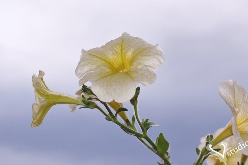 Sigma SD1 flower