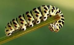 Papilio machaon, larva