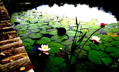 Lilies in the dam...