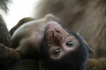 primatas, primate