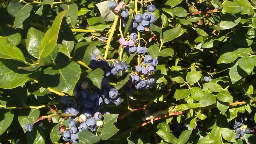 Commercial blueberries in Oregon.