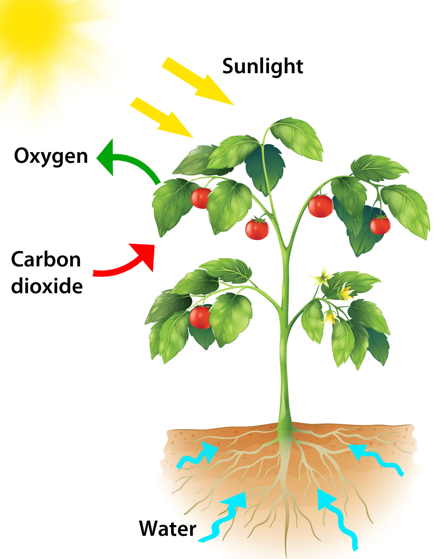 Photosynthesis for Kids Infographic