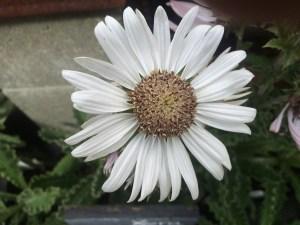 Berkheya purprea 'Alba' xera plants