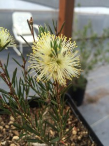 Callistemon pityoides 'Mt. Kosciuszko' xera plants