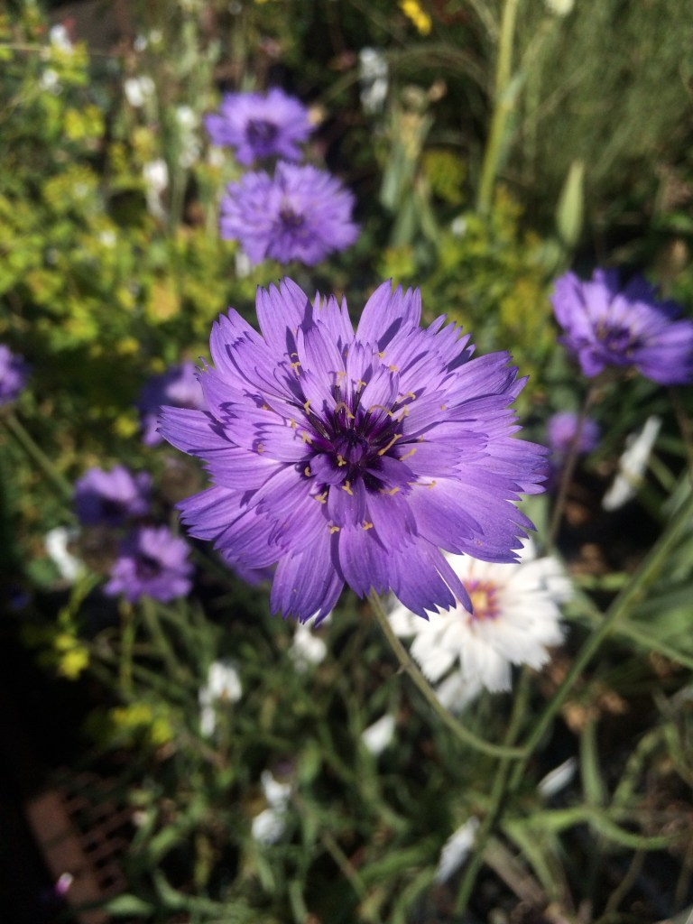 Catananche caerulea xera plants cupids dart is a simple to grow and wonderful perennial that blooms non stop all summer long the papery blue flowers with a deeper blue center attract all izmirmasajfo