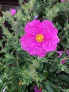 Cistus 'Warley Rose' xera plants