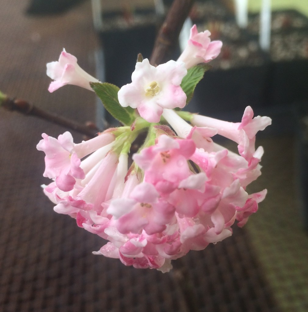 Viburnum x bodnantense charles lamont xera plants large clusters of pink flowers change to white upon opening flowers begin in december and continue to open until march mightylinksfo