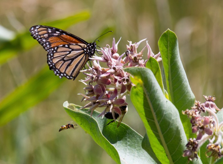 """""""Because the monarch is a widespread species, it can turn up almost anywhere in the US, and there are actions that any of us can take to help it. Planting native milkweed, such as the showy milkweed in this photo, is a valuable step. (Photo: USFWS Midwest, Flickr.)"""""""