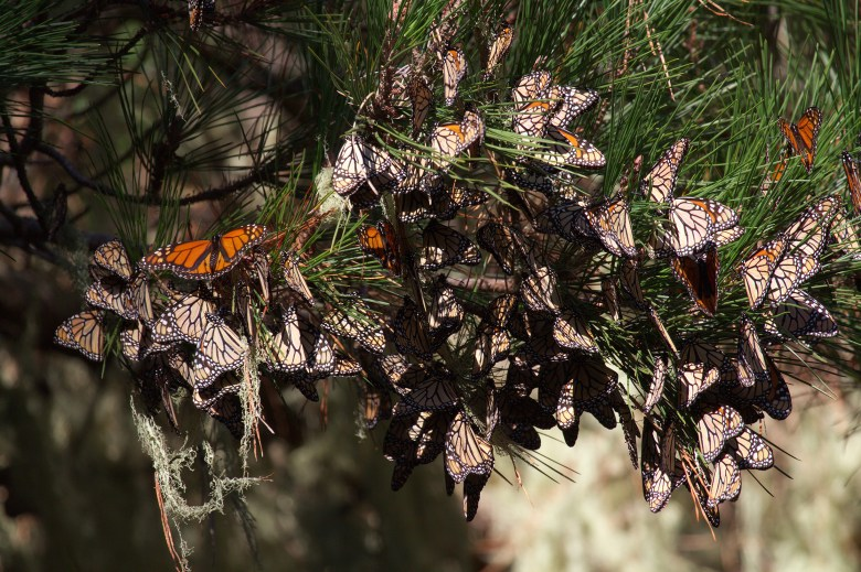 """""""Monarchs in western North America, the population that overwinters in California, have declined dramatically in recent years. This photo was taken in 2010 at Point Lobos. The trees in many overwintering sites are now bare of butterflies. (Photo: Xerces Society / Candace Fallon.)"""""""