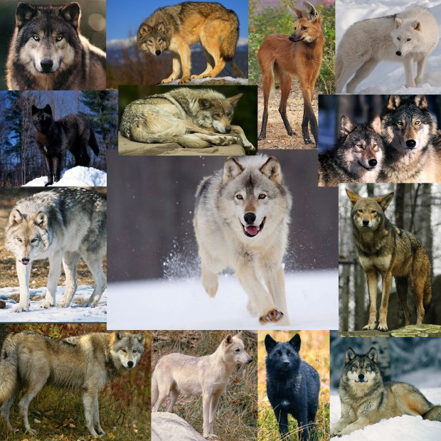 wolf-collage-copy1