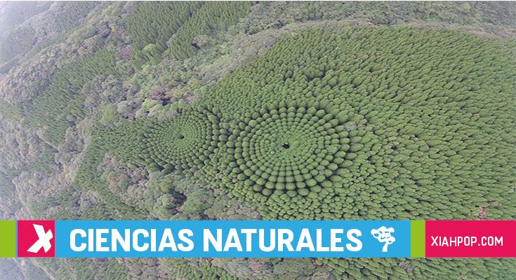Círculos de árboles: no son aliens, son japoneses