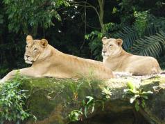 lioness-singapore-zoo