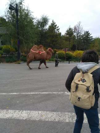 Camel on the welcoming committee