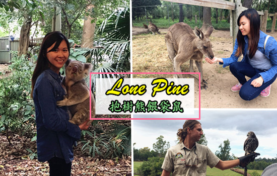 【來澳洲一定要做的事!】抱樹熊感受體溫 + 餵食袋鼠——Lone Pine|晓玩晓食