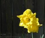 Side lit daffodils.
