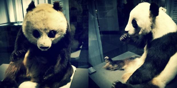 Osos panda disecados, siglo XIX vs siglo XXI
