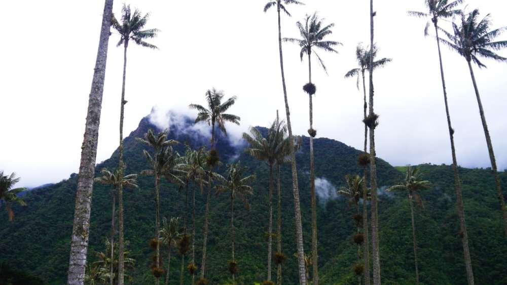 Palmas de cera - Valle del Cocora, Colombia