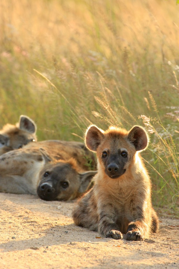 Brown hyenas (<i>Hyaena brunnea</i>). Kruger National Park, South Africa