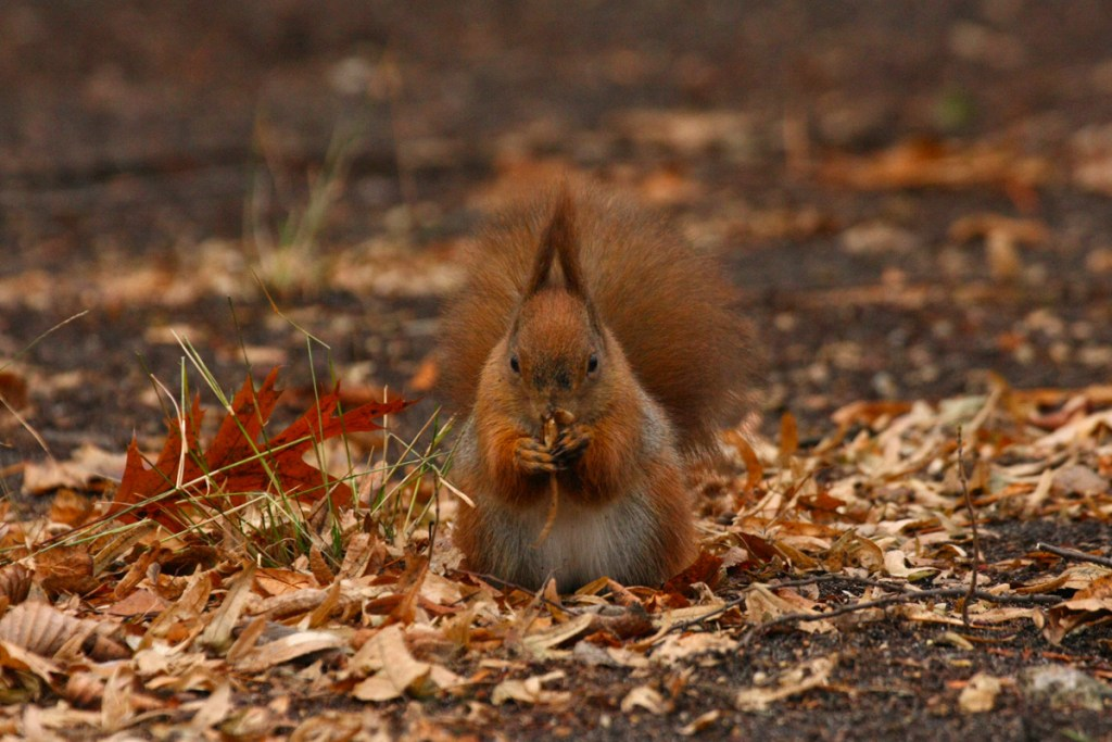 Red squirrel (<i>Sciurus vulgaris</i>). Warsaw, Poland