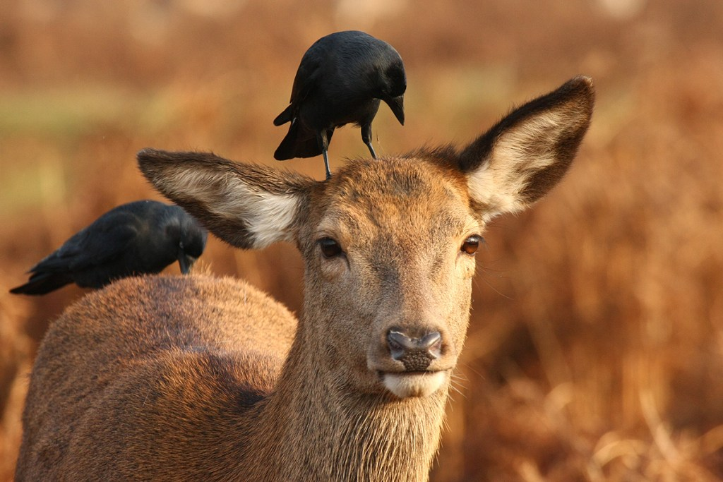 Corvids grooming a red deer doe (<i>Cervus elaphus</i>). Richmond Park, London