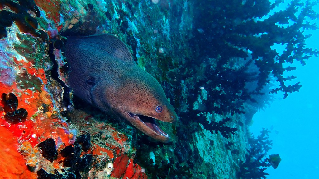Yellow-edged moray (<i>Gymnothorax flavimarginatus</i>) on the Kudagiri wreck. Maldives