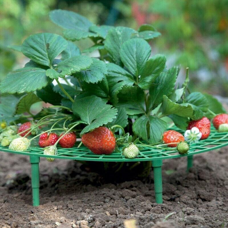 Садовая земляника — тонкости выращивания