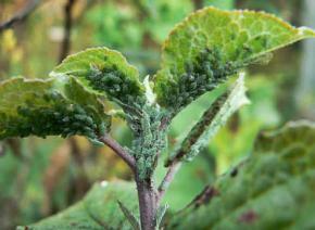 12 самых распространенных болезней и вредителей сливы и алычи