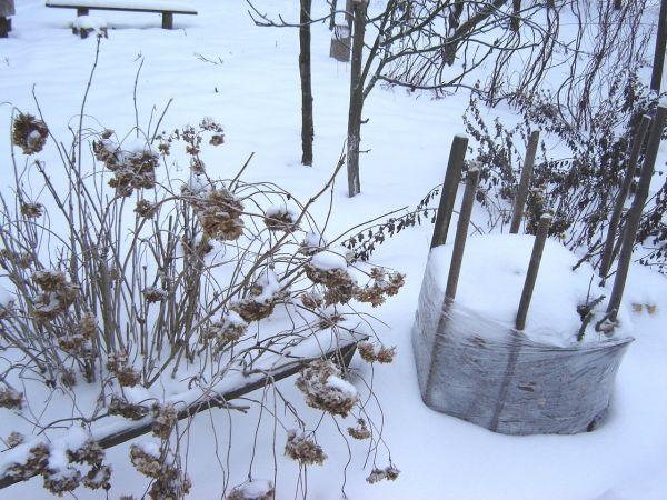 Нужно ли укрывать чеснок на зиму