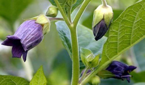 Растения, которые  могут вас убить