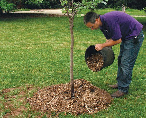 Яблони и груши – когда и чем их подкормить