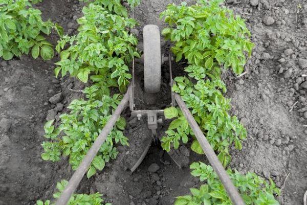 Картофель: тонкости окучивания