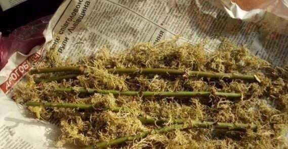 Уникально и просто: секрет укоренения черенков роз в газете